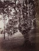 Scowen and Co., Jak Tree, ca. 1880–90. Albumen print. Yale University Art Gallery, Gift of Mr. and Mrs. Frederick B. Schell, Jr.
